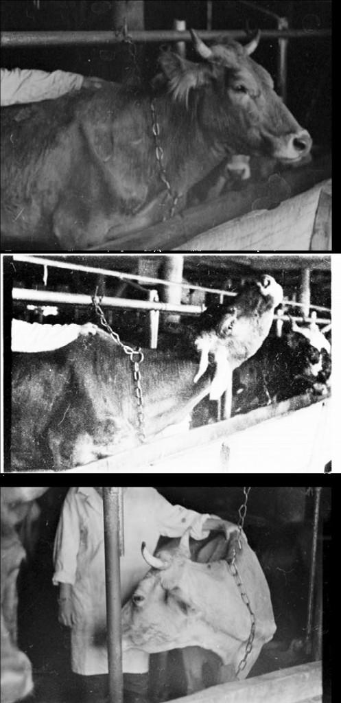 Рис. 23. Реакции коров при изучении темперамента. а – высоко держит голову, б – выкручивание шеи, в – опускание головы и поворот к испытателю.