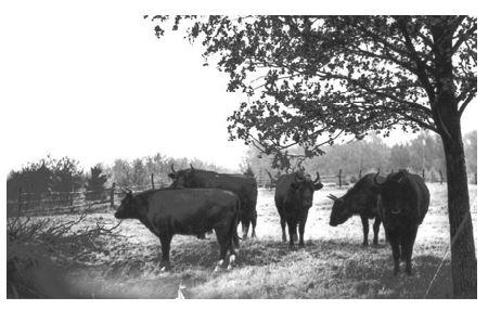 Рис. 28. Стадо гибридных животных (зубр х КРС) на биостанции Попельно (Польша).