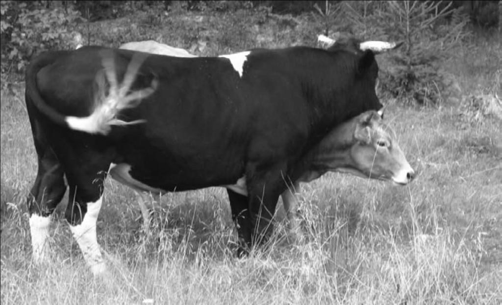 Рис. 9. Элемент полового поведения быка.
